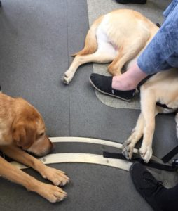 guide dogs resting